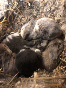 Kaninchen Babys 13 Tage