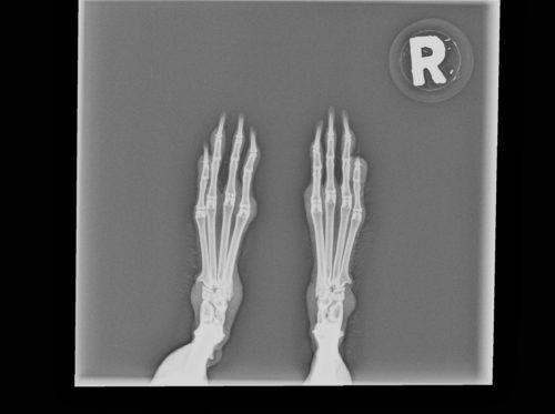 Röntgenbild Kaninchen Hinterläufe Hinter Pfoten
