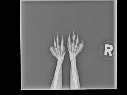 Röntgenbild Kaninchen Vorder Pfoten