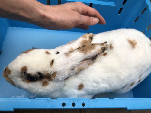 Fußbad beim Kaninchen