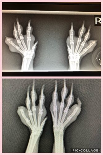 Röntgenbild Kaninchen Pfoten