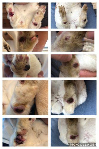 Pododermatitis bei Kaninchen