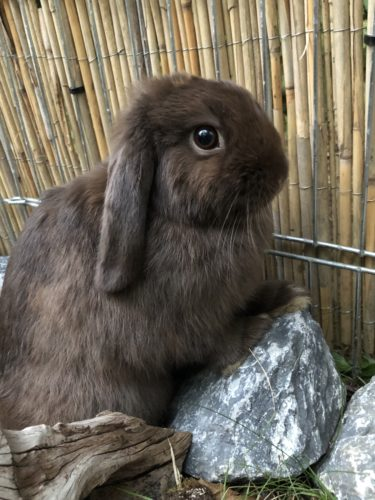 Mini-Lop havanna