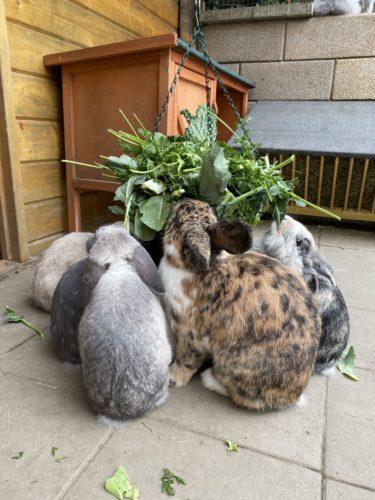 Kohl Möhrengrün für Kaninchen