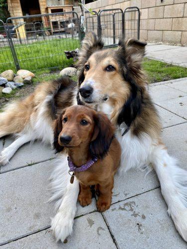 Collie und Dackel Welpe