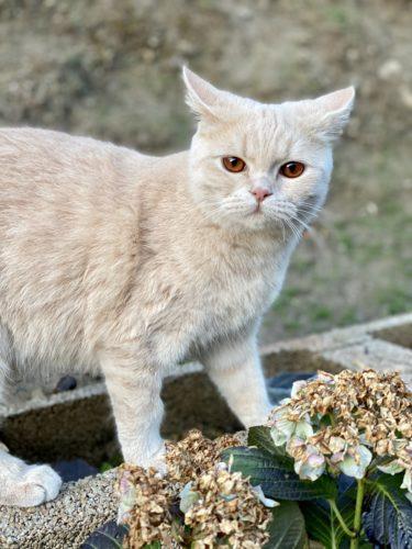 BKH Perser Katze Kater creme