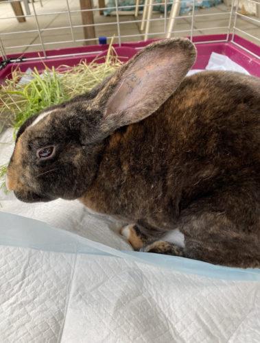 Kastrafrist Kaninchen