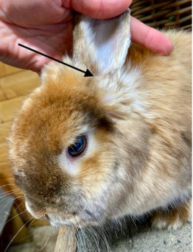 Otitis Ohrenentzündung Kaninchen
