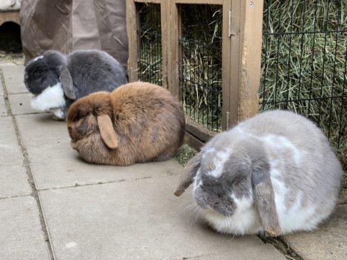 Ohrenentzündung Kaninchen