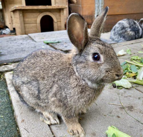 Wildmix-Kaninchen